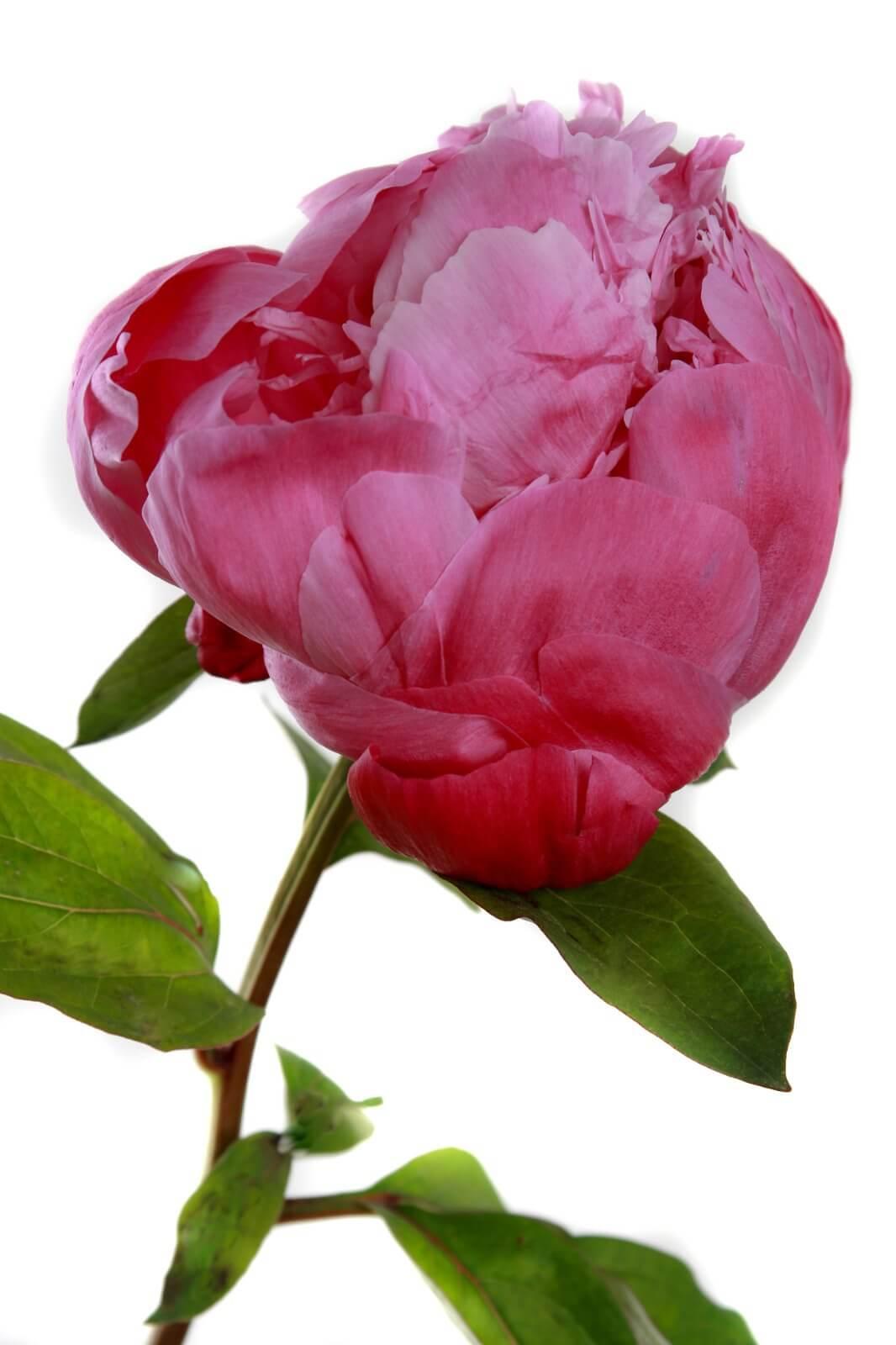 Red Sarah Bernhardt