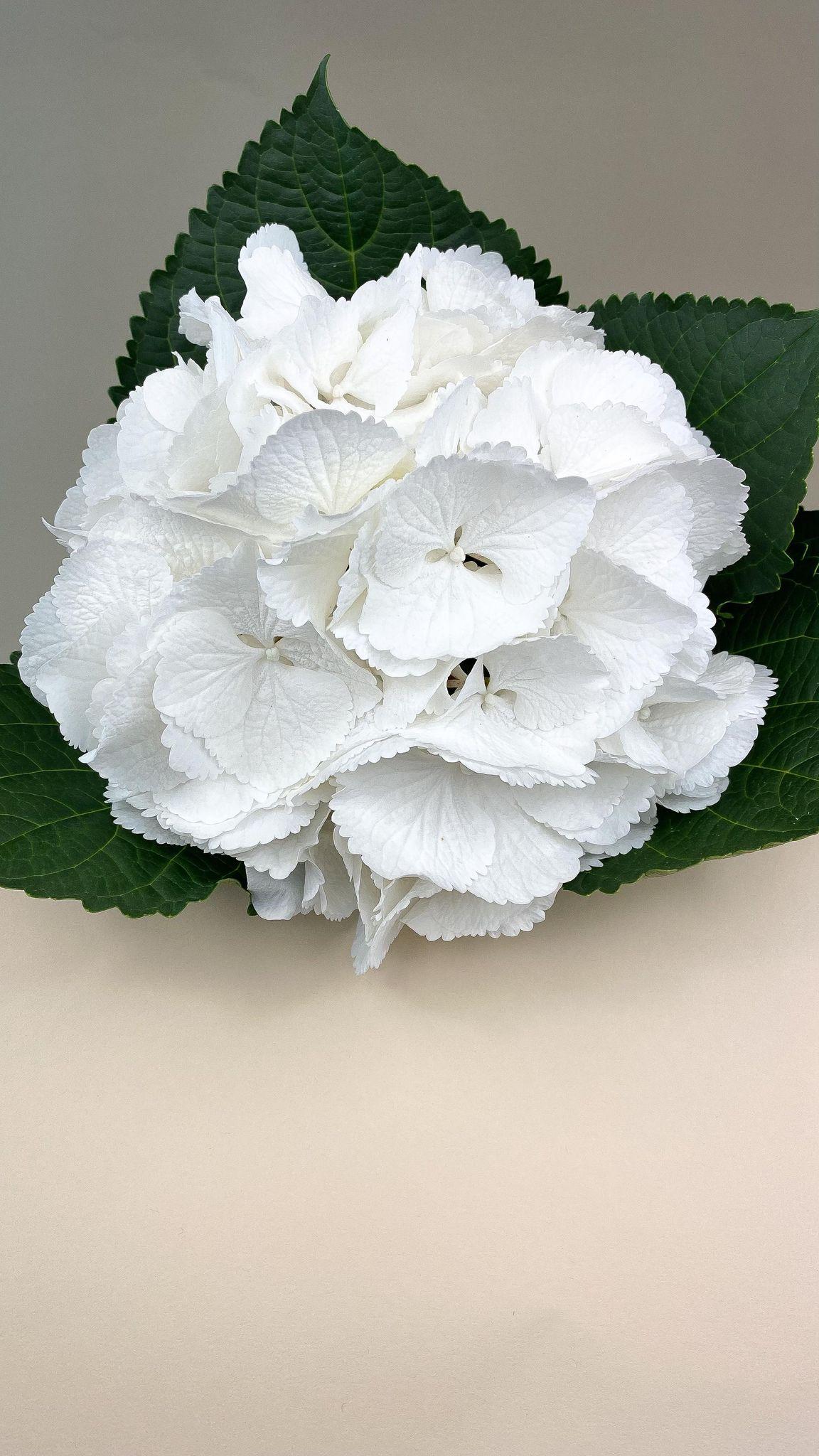 Hydrangea Snowball